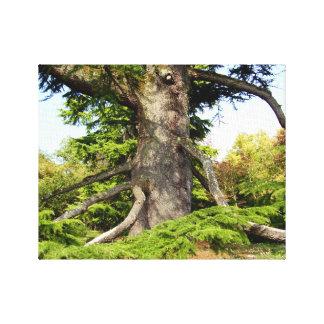 Cedar-of-Lebanon Tree Canvas Print
