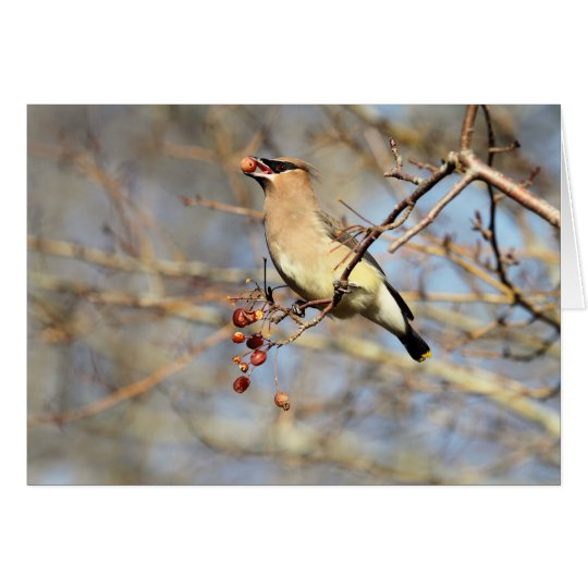 Cedar Waxwing Eating Berries Card