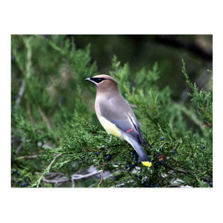 Cedar Waxwing In Tree With Berries Postcard