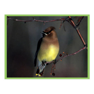 Cedar waxwing postcard