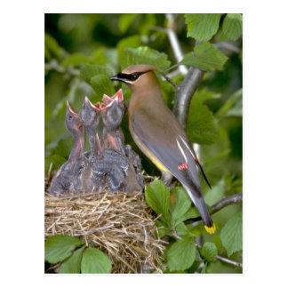 Cedar Waxwing with nestlings Postcard