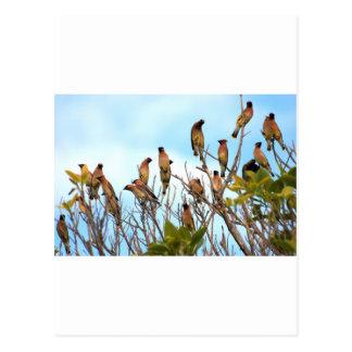 Cedar Waxwings onBlue Postcard