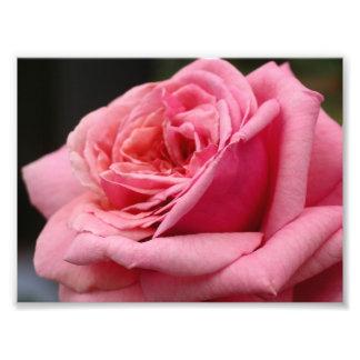 Center of a Pink Rose Photograph