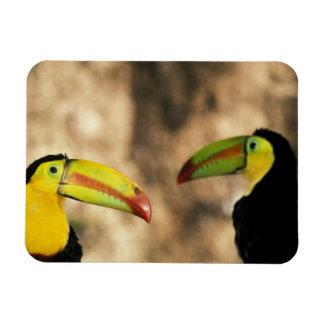 Central America, Honduras. Keel-billed Toucan 2 Rectangular Photo Magnet