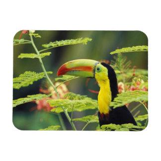 Central America, Honduras. Keel-billed Toucan Rectangular Photo Magnet