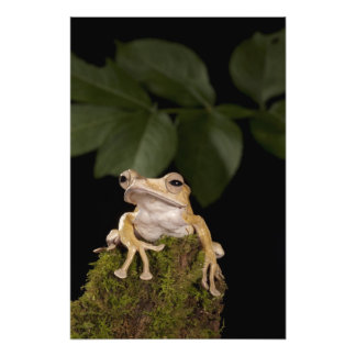 Central PA, USA,. Borneo Eared Frog; Photographic Print