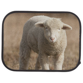 Central Pennsylvania, USA,Domestic sheep, Ovis Auto Mat