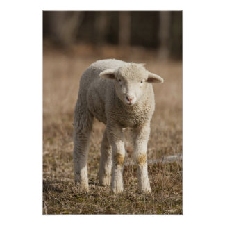 Central Pennsylvania, USA,Domestic sheep, Ovis Posters
