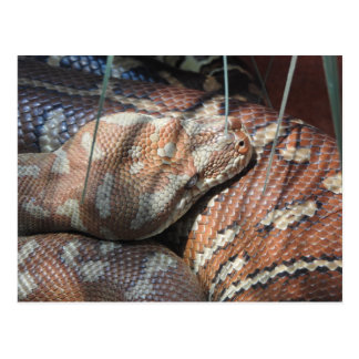Centralian Carpet Python Postcard