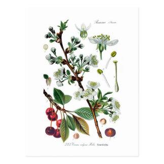 Cerasus vulgaris (Cherry) Postcard