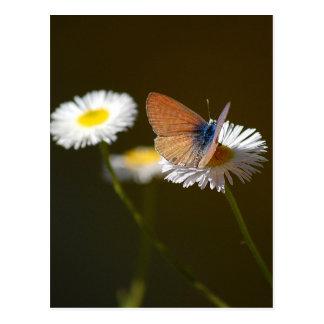 Ceraunus Blue Butterfly Postcard