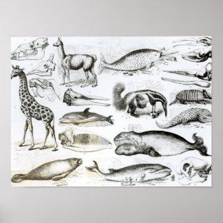 Cetacea Edentata Poster