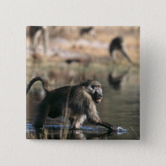 Chacma Baboons (Papio ursinus) walking through 2 Inch Square Button
