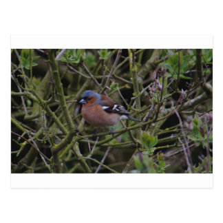 Chaffinch In Tree Postcard