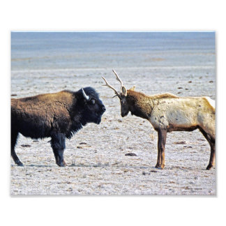 Challenge Elk vs. Buffalo 8x10 Photo Print