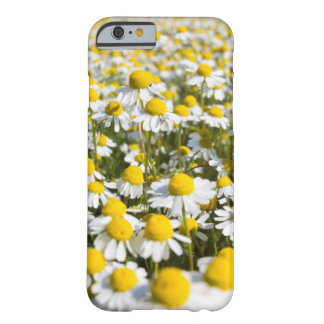 Chamomile flower close-up, Hungary Barely There iPhone 6 Case