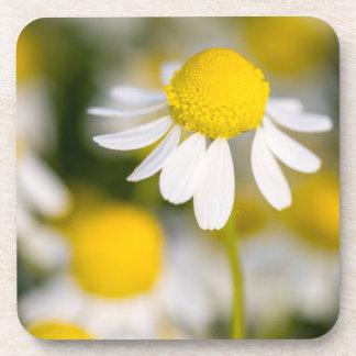 Chamomile flower close-up, Hungary Coaster