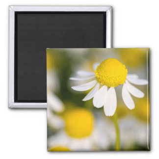 Chamomile flower close-up, Hungary Magnet