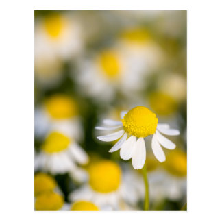 Chamomile flower close-up, Hungary Postcard