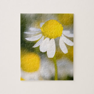 Chamomile flower close-up, Hungary Puzzle