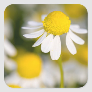 Chamomile flower close-up, Hungary Square Sticker