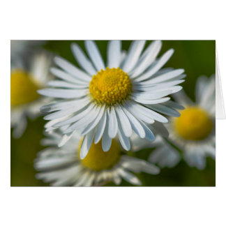 Chamomile flowers card
