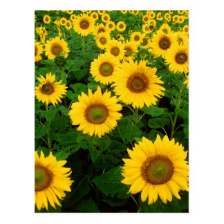 Champ des tournesols carte postale