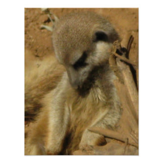 Charming Photo of a Meerkat Poster