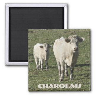 Charolais cow and calf magnet