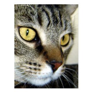 Chat tigré carte postale