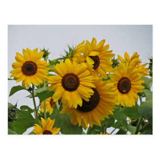 Cheery Sunflower Group Postcard