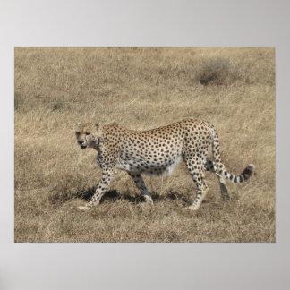 "Cheetah 20x15"" poster"