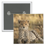 Cheetah, Acinonyx jubatus, cub laying downin Buttons