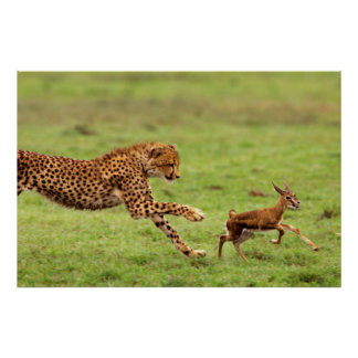 Cheetah (Acinonyx Jubatus) Cub Practicing Poster