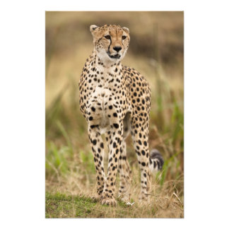 Cheetah, Acinonyx jubatus, in the Masai Mara Art Photo