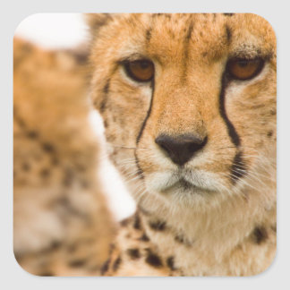 Cheetah (Acinonyx Jubatus) Mother And Cub Square Sticker