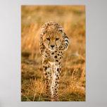 Cheetah (Acinonyx Jubatus) Portrait, Maasai Poster