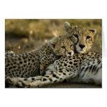 Cheetah, Acinonyx jubatus, with cub in the Masai 2 Card