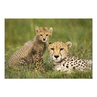 Cheetah, Acinonyx jubatus, with cub in the Photo Print