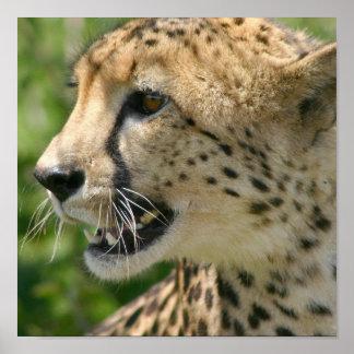 Cheetah Attack Poster Print