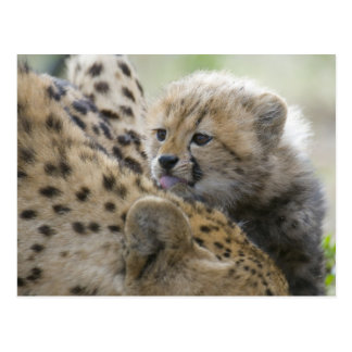 Cheetah Cub with Mom Postcard