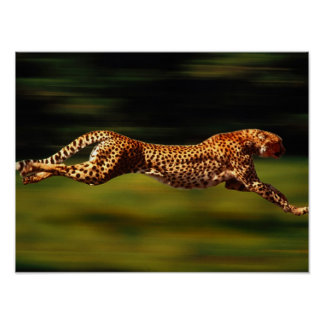 Cheetah Hunting His Prey Poster