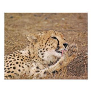 Cheetah Licking its Paw Photo Art