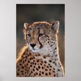 Cheetah looking away poster