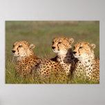 Cheetah Lying In Grass, Ngorongoro Conservation Poster