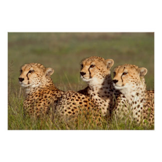 Cheetah Lying In Grass, Ngorongoro Conservation Poster