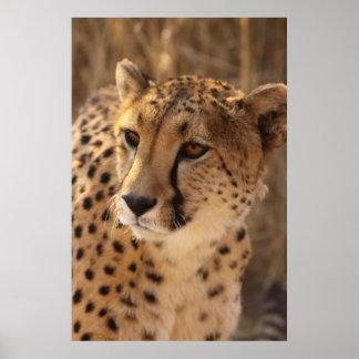 Cheetah - Namibia Poster