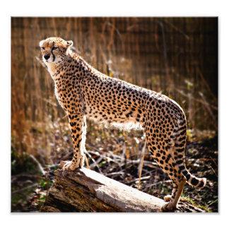 Cheetah Photo Print