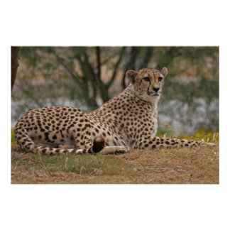 Cheetah Relaxing Yet Ready Poster