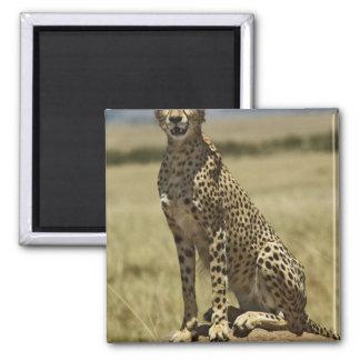 Cheetah resting, Acinonyx jubatus, Masai Mara, Square Magnet